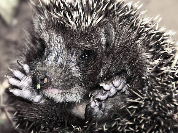 Animal Poster featuring the photograph Baby Hedgehog by Svetlana Sewell