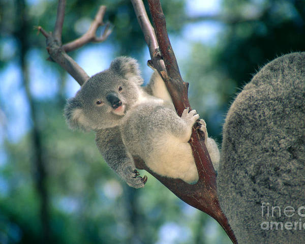 Animal Art Poster featuring the photograph Baby Koala Bear by Himani - Printscapes