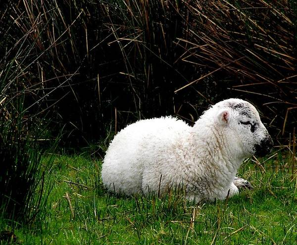 Sheep Poster featuring the photograph Baby Lamb by Jeanette Oberholtzer