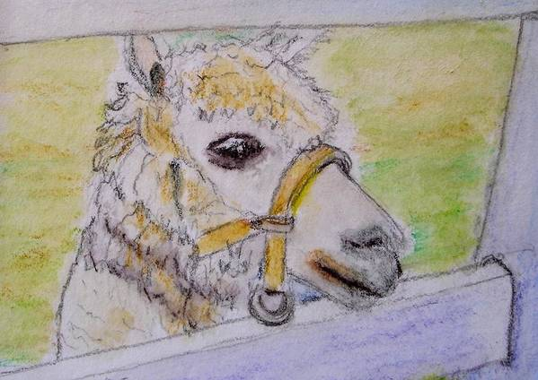 Baby Poster featuring the drawing Baby Llama by Lessandra Grimley