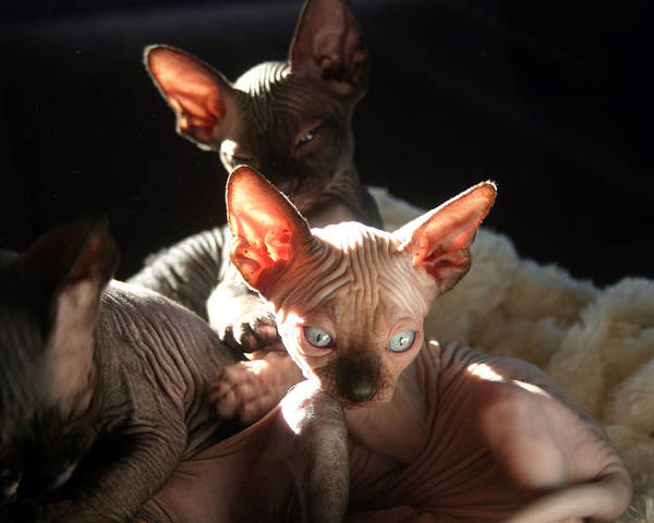 Photo Poster featuring the photograph Baby Sphynx Cats by Ruben Flanagan