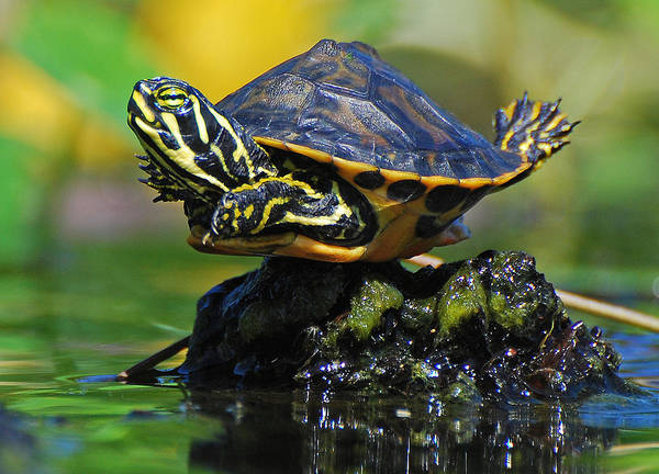 Baby Turtle Wildlife Nature Funny Green Poster featuring the photograph Baby Turtle Planking by Jessie Dickson