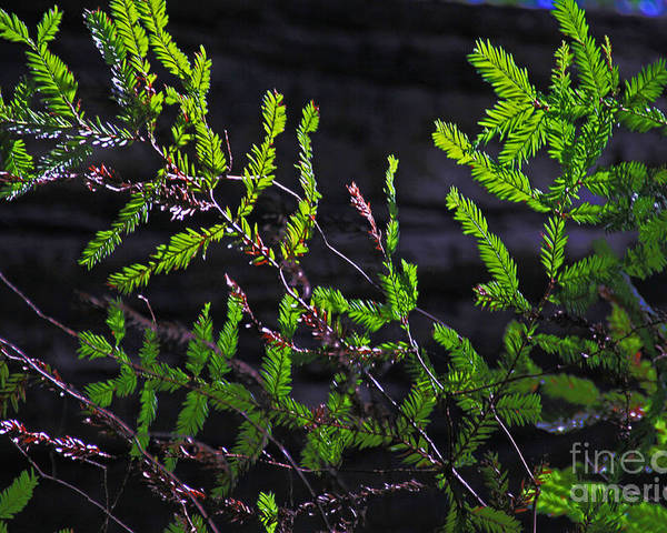Back-lit Poster featuring the photograph Back-lit Conifer Branches by David Frederick