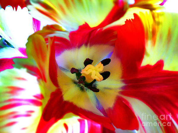 Flower Poster featuring the photograph Backlit Tulip by Paul Gerace