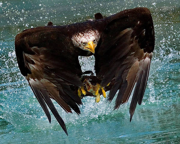 Eagle Poster featuring the photograph Bald Eagle In Flight by Dean Bertoncelj