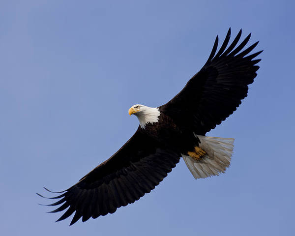 Afternoon Poster featuring the photograph Bald Eagle In Flight by John Hyde - Printscapes
