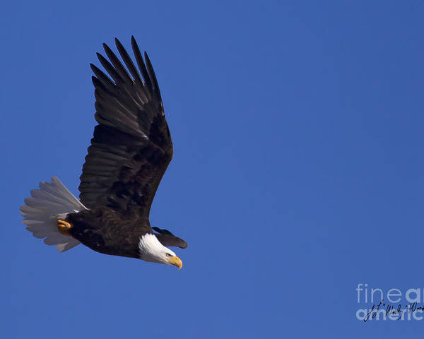 Bird Poster featuring the photograph Bald Eagle In Flight-signed #1198 by J L Woody Wooden