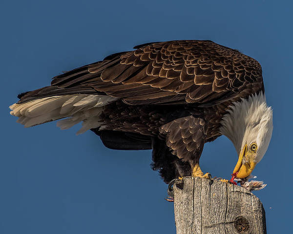 Eagle Poster featuring the photograph Bald Eagle Lunch by Yeates Photography