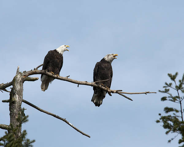Bald Eagle Poster featuring the photograph Bald Eagle Perch by Chad Davis
