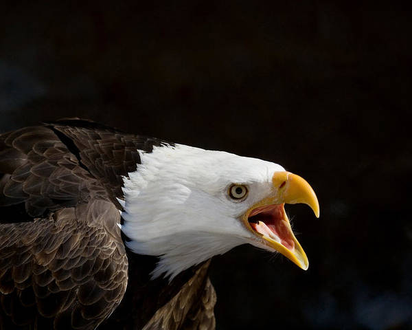 Eagle Poster featuring the photograph Bald Eagle Portrait 2 by Laurie With