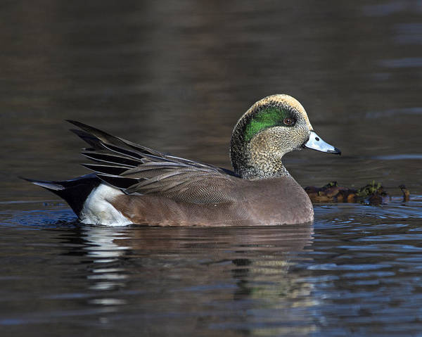 American Wigeon Poster featuring the photograph Baldpate by Tony Beck