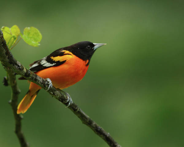 Baltimore Oriole Poster featuring the photograph Baltimore Oriole by Reva Dow
