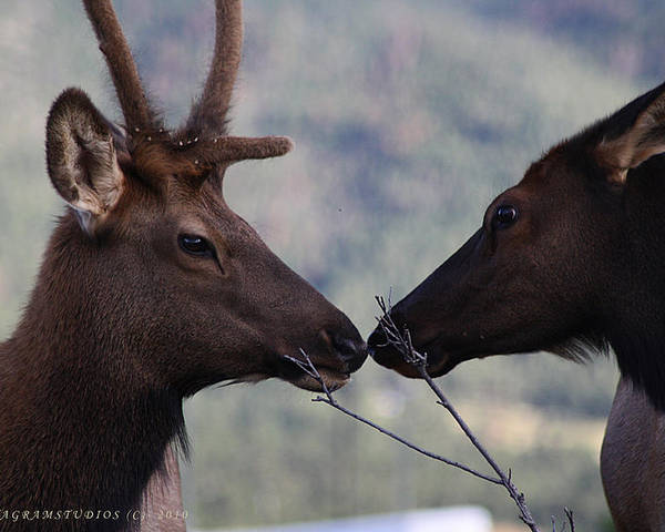 Elk Poster featuring the photograph Bambi And Faline by KatagramStudios Photography
