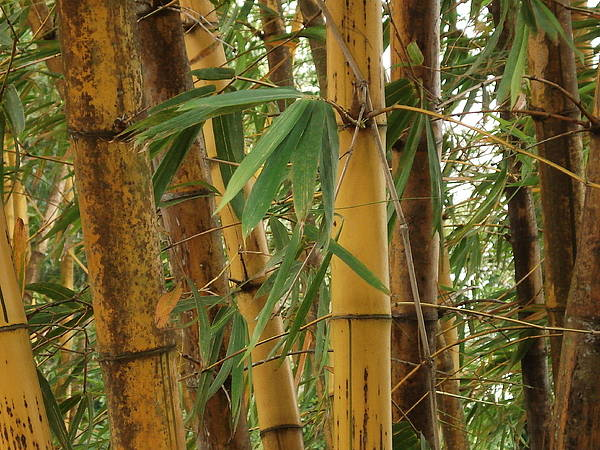 Bamboo Poster featuring the photograph Bamboos by Athira S S