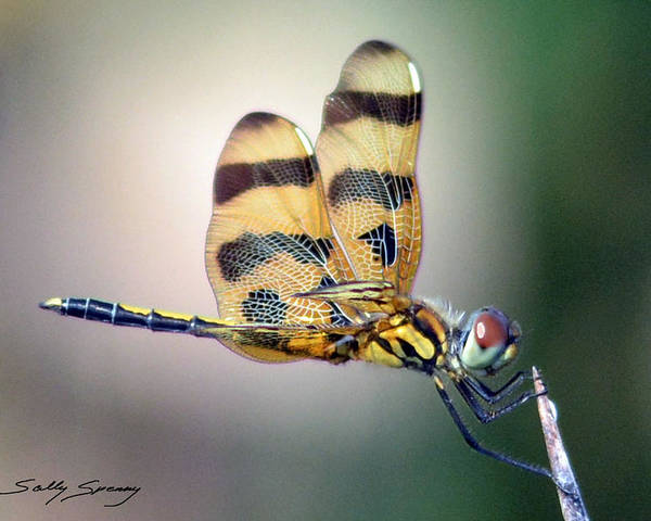 Banded Pennant Poster featuring the pyrography Banded Pennant by Sally Sperry