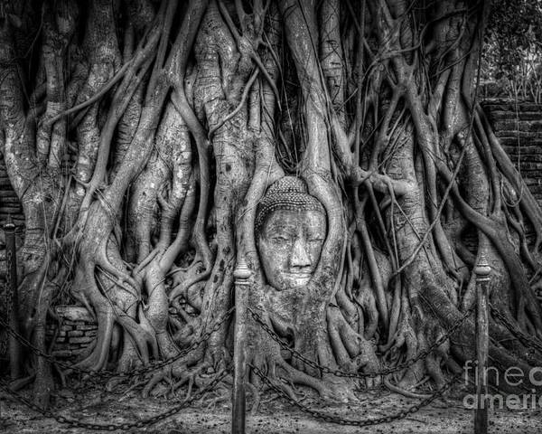 Ayutthaya Poster featuring the photograph Banyan Tree by Adrian Evans