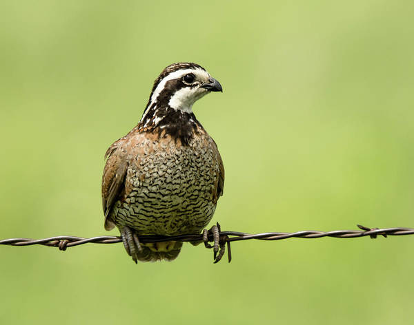 Nature Poster featuring the photograph Barbed Wire Bobwhite by Steve Marler