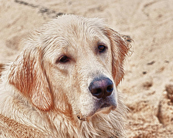 Yellow Lab Poster featuring the photograph Beach Dog by Linda Pulvermacher