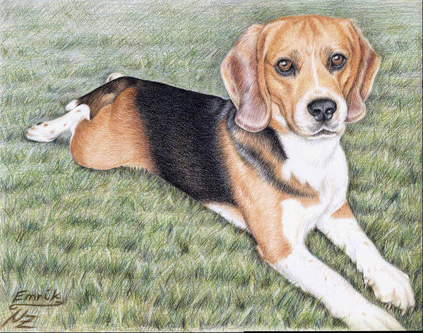 Dog Poster featuring the drawing Beagle by Nicole Zeug
