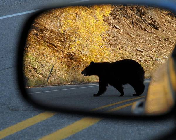 Bear Poster featuring the photograph Bear Chance by Al Swasey