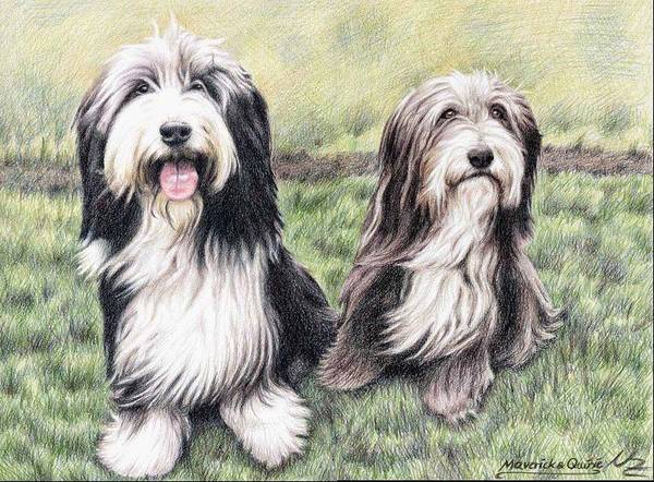 Dogs Poster featuring the drawing Bearded Collies by Nicole Zeug