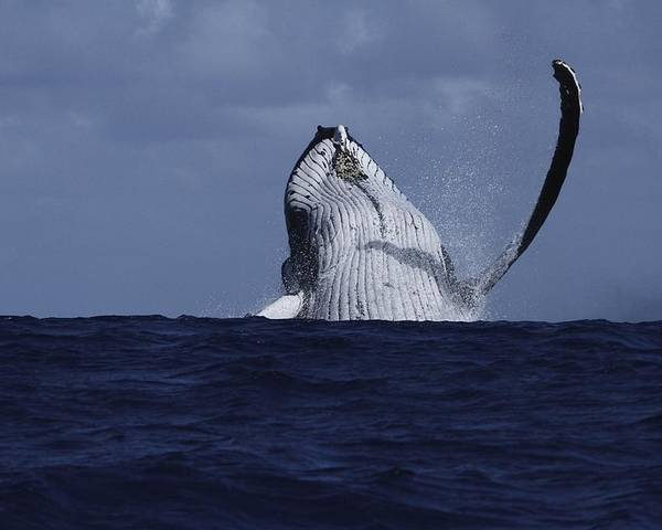Humpback Whale Poster featuring the photograph Beastie Waving by Nan Hauser