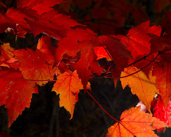 Red Poster featuring the photograph Beautiful Backlit Autumn Maple Leaves by Darrell Young
