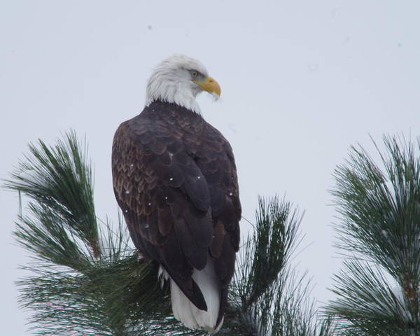 Bald Eagle Poster featuring the photograph Beautiful Bald Eagle by Jeff Swan