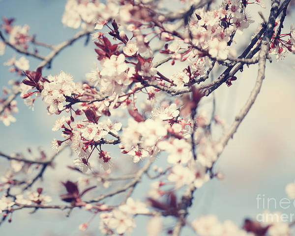 April Poster featuring the photograph Beautiful Cherry Tree Blossom by Anna Om