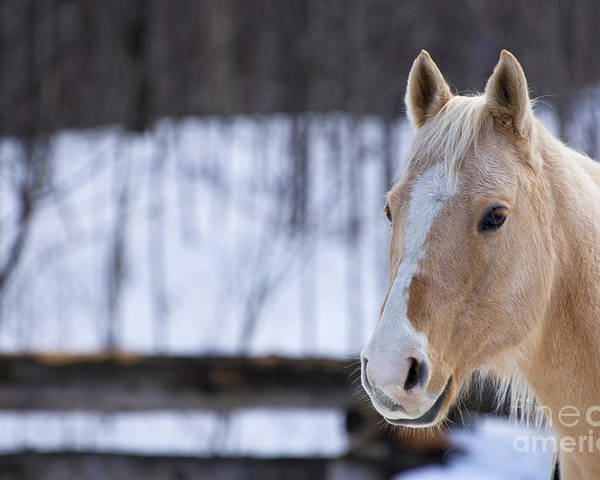 Horse Poster featuring the photograph Beautiful Horse by Melanie Lefebvre