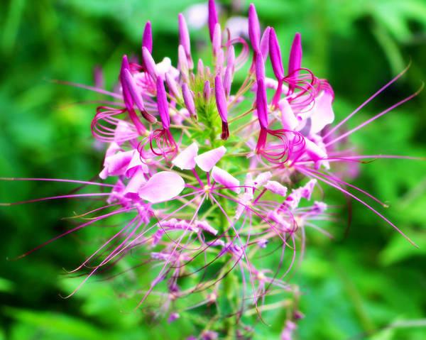 Beautiful pink purple spike flower poster by kathy m krause pink purple flower poster featuring the photograph beautiful pink purple spike flower by kathy mightylinksfo