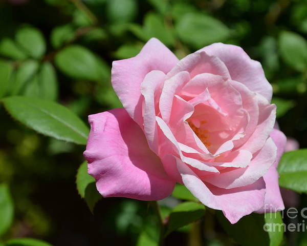 Rose Poster featuring the photograph Beautiful Pink Rose by DejaVu Designs