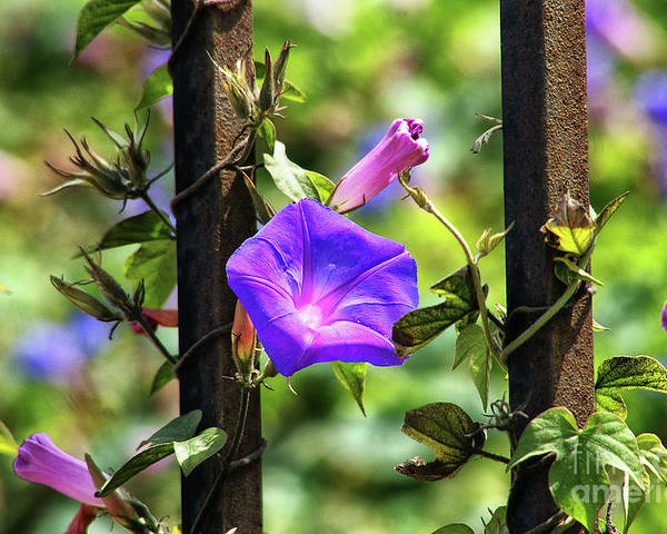Railroad Vine Flower Poster featuring the photograph Beautiful Railroad Vine Flower II by Mariola Bitner