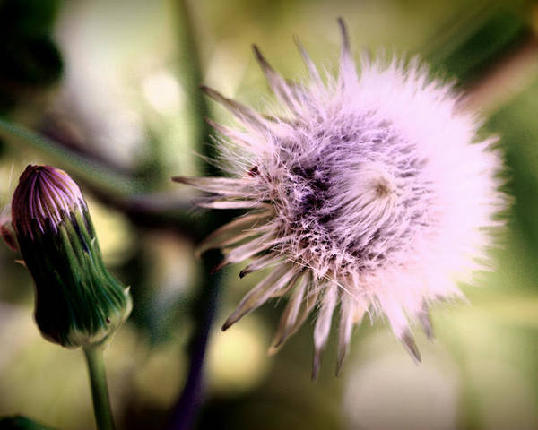 Dandelion Poster featuring the photograph Beauty In Everything by Susie Weaver