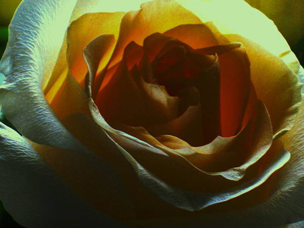 Rose Poster featuring the photograph Beauty Within by Erika Lesnjak-Wenzel