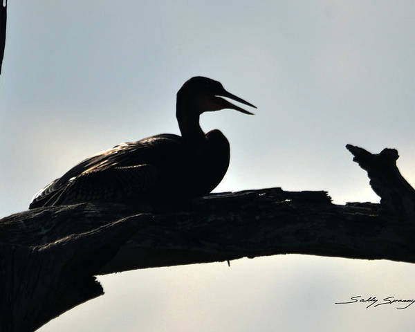 Anhinga Poster featuring the pyrography Bedtime Story by Sally Sperry