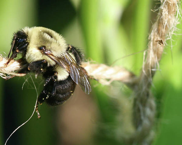 Bumble Bee Poster featuring the photograph Bee Hanging Onto Twine Glistening In Sunlight After Working by Bonnie Boden