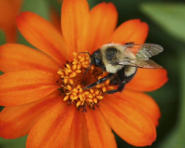 Bee Poster featuring the photograph Bee On Aster by Margie Wildblood