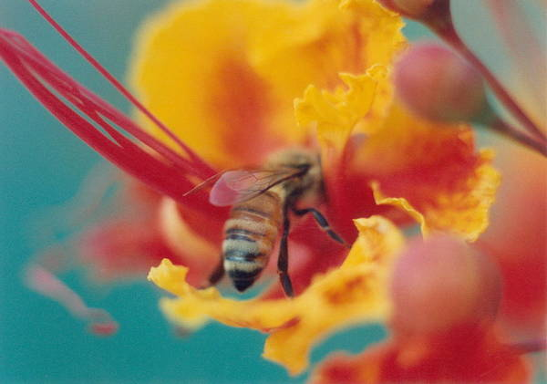 Bee Poster featuring the photograph Bee On Bird Of Paradise 100 by Diane Backs-Mancuso