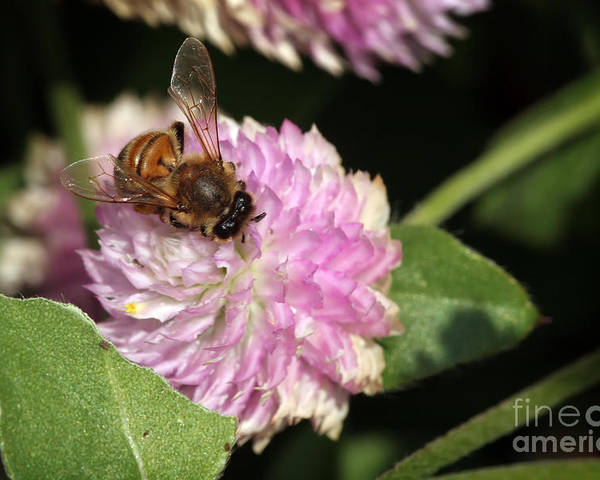 Bee Poster featuring the photograph Bee On Gomphrena by Jeannie Burleson