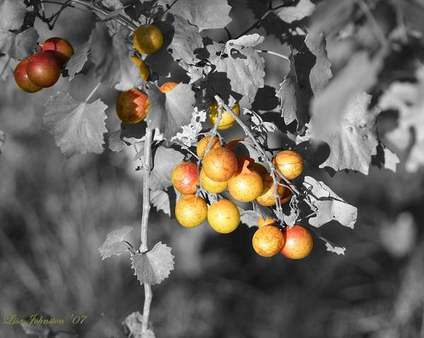 Muscadine Poster featuring the photograph Before the Wine by Lisa Johnston
