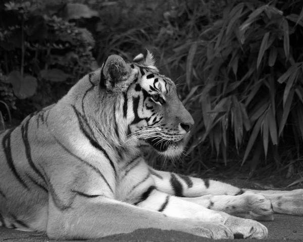 Zoo Poster featuring the photograph Bengal Tiger by Sonja Anderson