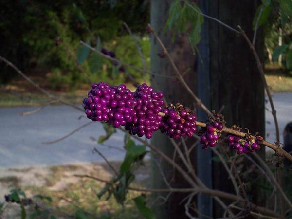 Purple Berries Poster featuring the photograph Berries On The Limb by Michael Isam