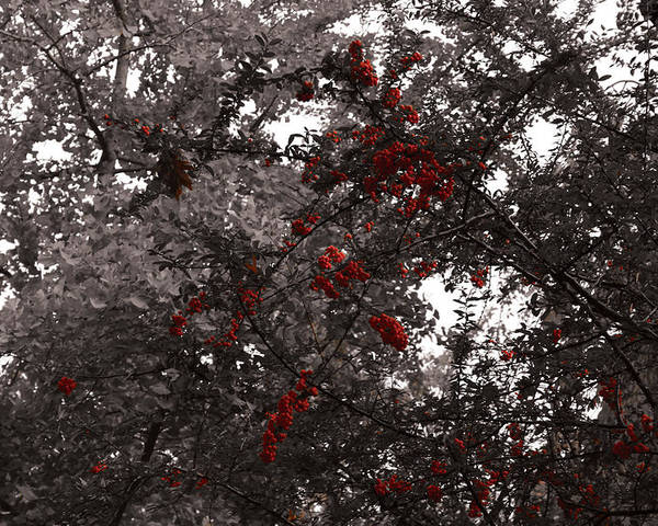 Nature Poster featuring the photograph Berry Trees by Bill Ades