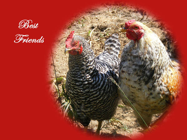 Chickens Poster featuring the photograph Best Friends by James and Vickie Rankin