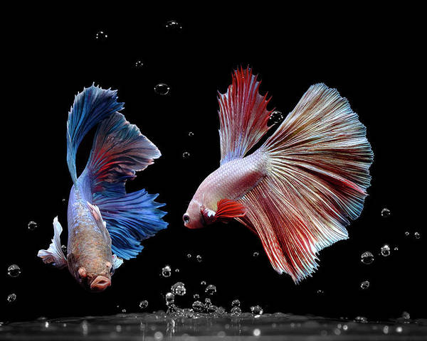 Animal Poster featuring the photograph Betta1265 by Bang Yos