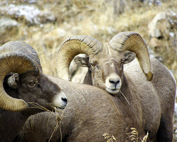 Big Horn Sheep Poster featuring the photograph Big Horn Sheep Grazing by Vicki Reinke