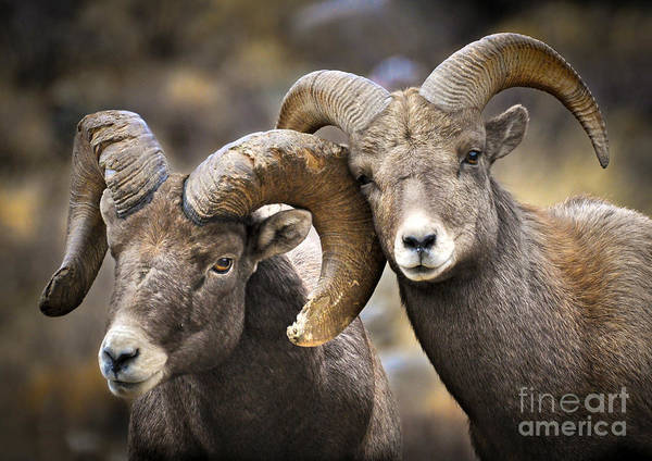 Bighorn Sheep Poster featuring the photograph Bighorn Brothers by Kevin Munro