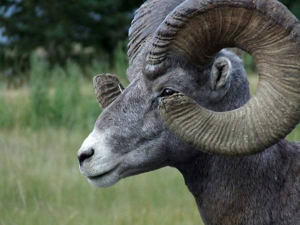 Big Horned Ram Poster featuring the photograph Bighorned Ram by Tiffany Vest