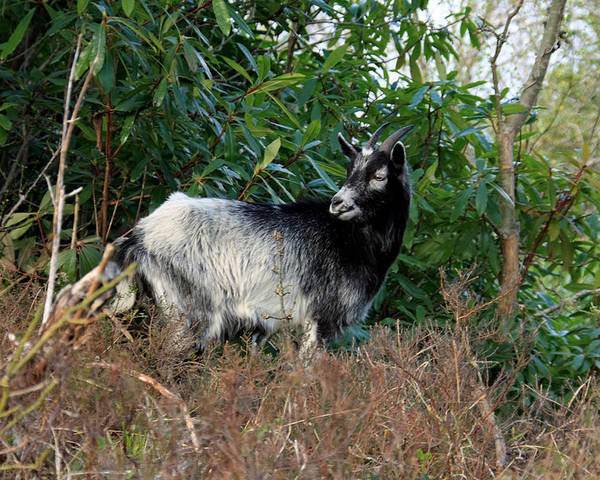 Goat Poster featuring the photograph Kerry Mountain Goat by Aidan Moran